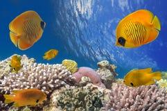 Zamaskowana motyl ryba i rafa koralowa, Czerwony morze Zdjęcie Stock
