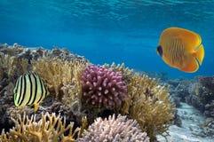 Zamaskowana motyl ryba, rafa koralowa i Fotografia Royalty Free