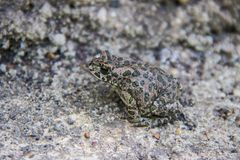 Zamaskowana popielata żaba Zdjęcie Royalty Free