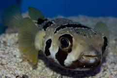 Zamaskowani jeżatek Pufferfish fotografia stock
