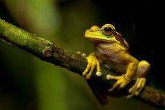 zamaskowany żaby drzewo zdjęcie stock