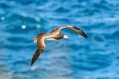 Zamaskowany durnia Sula dactylatra lata nad Atlantyckim oceanem blisko Tobago wyspy w caribean morzu, piękny morski ptak fotografia stock