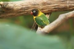 Zamaskowany lovebird Obrazy Stock