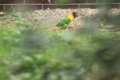 Zamaskowany lovebird Fotografia Stock
