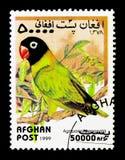 Zamaskowany Lovebird, papugi seria około 199, (Agapornis personatus) Obrazy Royalty Free