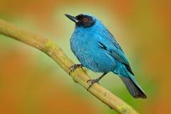 Zamaskowany Piercer, Diglossa cyanea, błękitny zwrotnika ptak z bl zdjęcie stock