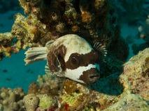 Zamaskowany puffer ryba arothron diadematus odpoczywa dalej  zdjęcie stock