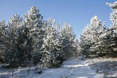 Zamaszystej zimy sosnowy lasowy ślad zdjęcie stock