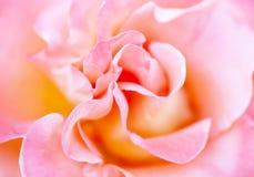 Zamazana miękka romantyczna menchii róża Obraz Royalty Free