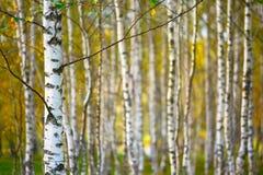 Zamazana naturalnego tła brzozy tapeta z płytką głębią pole Zdjęcie Stock