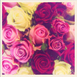 Zamazane purpurowe róże Zdjęcia Stock