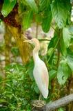 Zamazanej i selekcyjnej ostrości wizerunek bydła egret ptasia pozycja na betonu ogrodzeniu (Bubulcus ibis) Fotografia Royalty Free