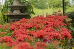 Zamazany czerwony ixora kwiatu pojęcie w ogródzie obrazy royalty free