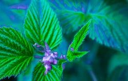 Zamazany tło kwitnąć malinowego krzaka Zieleń, błękit, purpurowy natura projekt zdjęcia stock