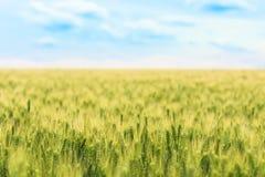 Zamazany tło pole potomstwo zielona banatka z selekcyjnym focuse na niektóre kolcach, krajobraz z niebieskim niebem Zdjęcia Royalty Free
