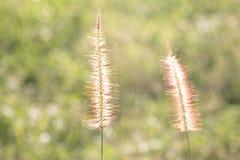 Zamazany tło suchej trawy zmierzch obraz royalty free