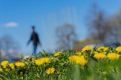 Zamazany unrecognizable mężczyzna odprowadzenie w parku, wiosna sezonie, zielonej trawy łące i jaskrawych żółtych młodych dandeli Zdjęcie Royalty Free