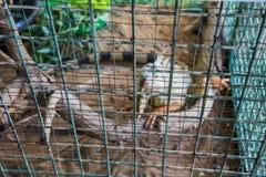 Zamazany wizerunek Zielona iguana w klatce (iguany iguana) Obrazy Stock