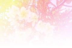 Zamazujący Plumeria kwitnie kwitnienie w pastelowego koloru stylu dla tła fotografia royalty free
