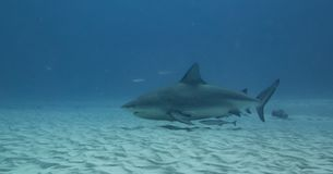 Zambesi shark in the water of Play del Carmen stock images