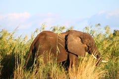 Zambezi river elephant Stock Photo