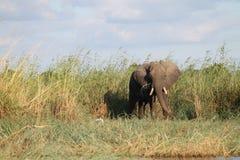Zambezi river elephant Stock Images