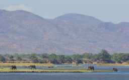 Zambezi river wildlife. Zambezi river with African Elephants and Buffalo Royalty Free Stock Photos