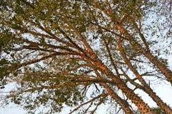 Zambezi Teak Trees Royalty Free Stock Photo