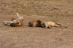 Zambia: Dos leones que se relajan y que ruedan en la arena en Luangwa del sur Fotos de archivo libres de regalías
