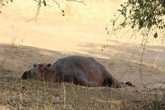 Zambia: En lat flodhäst som ligger i skuggan av ett träd nära den Zambesi floden royaltyfri fotografi