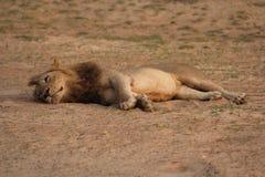 Zambia: Leona que se relaja en la arena caliente en el Luangwa del sur R imágenes de archivo libres de regalías