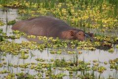 Zambia: Natación del hipopótamo en el río más bajo de Zambesi fotos de archivo