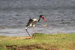 Zambia: A Saddle-billed Stork catched areptil. Zambia: A Saddle-billed Stork with a reptil in his bill. Ephippiorhynchus senegalensis feeding Stock Images