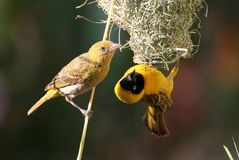Zambia: Weaver couple building the nest togheter. Near Lower Zambesi National Park Stock Images