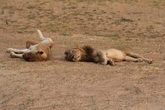 Zambiowie: Lwy relaksuje i roling w piasku przy Południowym Luangwa obrazy stock