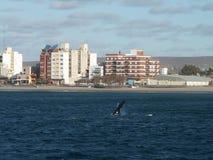 Zambullida de la ballena derecha Imagen de archivo libre de regalías
