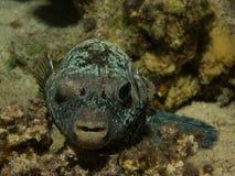 Zambullida del Mar Rojo de los Pufferfish imagen de archivo libre de regalías