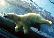 Zambullida del oso polar en agua imágenes de archivo libres de regalías