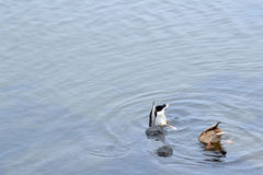 Zambullida hermosa del pato dos en el río Foto de archivo