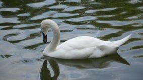 Zambullidas de un cisne del blanco en el agua almacen de metraje de vídeo