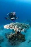 Zambullidor con la cámara a lo largo del filón, Mar Rojo Imagen de archivo