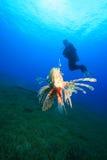 Zambullidor del Lionfish y de equipo de submarinismo Fotos de archivo