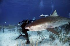 Zambullidor que fotografía un tiburón de tigre fotos de archivo libres de regalías