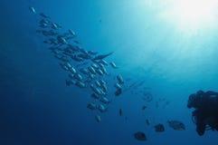 Zambullidor silhouted con la escuela de pescados Foto de archivo libre de regalías