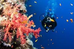 Zambullidor tropical rojo brillante del coral y de equipo de submarinismo fotografía de archivo