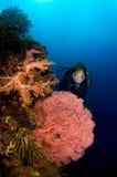 Zambullidor y Gorgonia Indonesia coralina Sulawesi Imagen de archivo libre de regalías