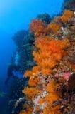 Zambullidor y Gorgonia Indonesia coralina Sulawesi Foto de archivo libre de regalías
