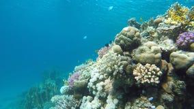 Zambullidor y pescados Filón, pescado, arrecife de coral hermoso metrajes