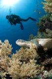 Zambullidor y tortuga a lo largo del filón, Mar Rojo, Egipto Imagenes de archivo