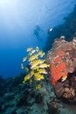 Zambullidores de equipo de submarinismo en agua cristalina Imagen de archivo libre de regalías